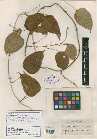 Dioscorea pilosiuscula image