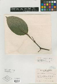 Image of Piper distigmatum