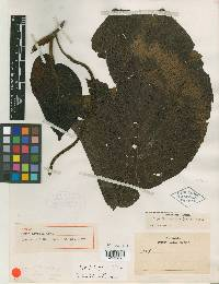 Image of Piper hartwegianum