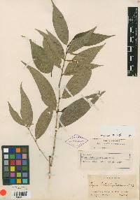 Image of Piper hirtellipetiolum