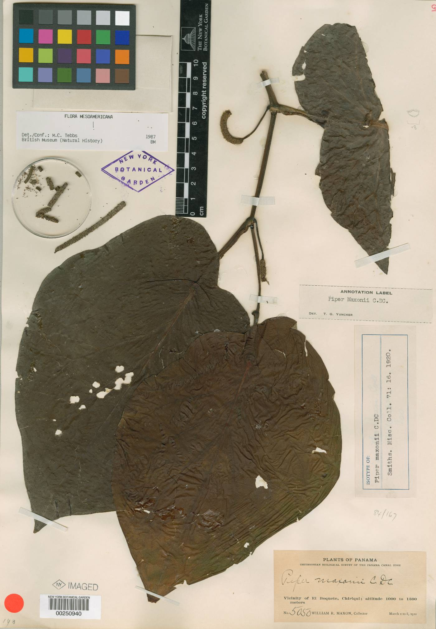 Piper maxonii image