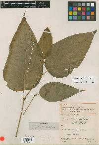 Piper crassinervium image