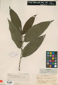 Piper pubistipulum image