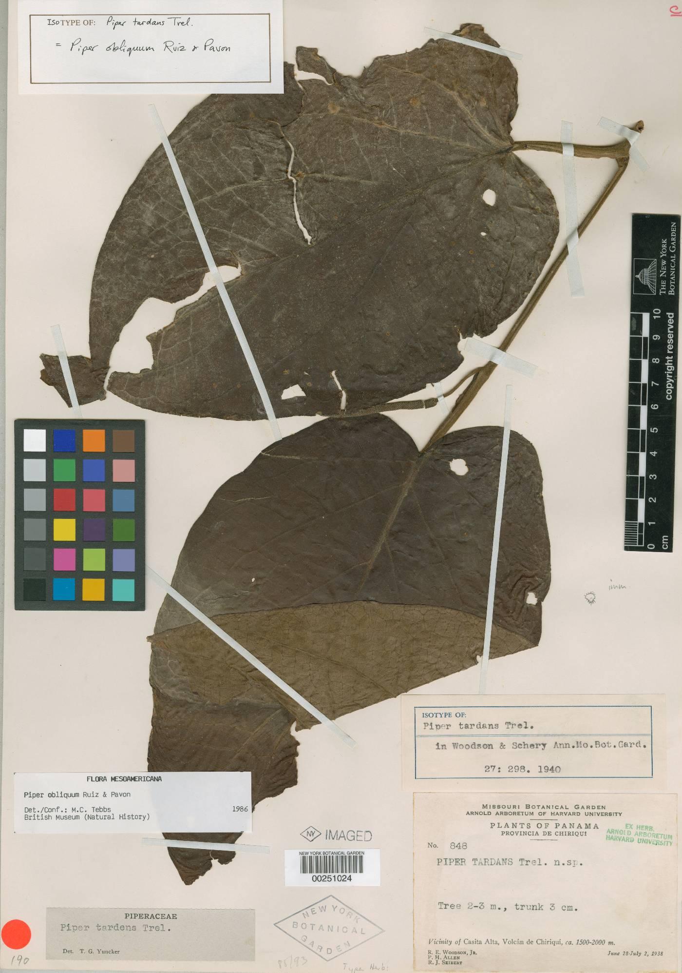 Piper obliquum image