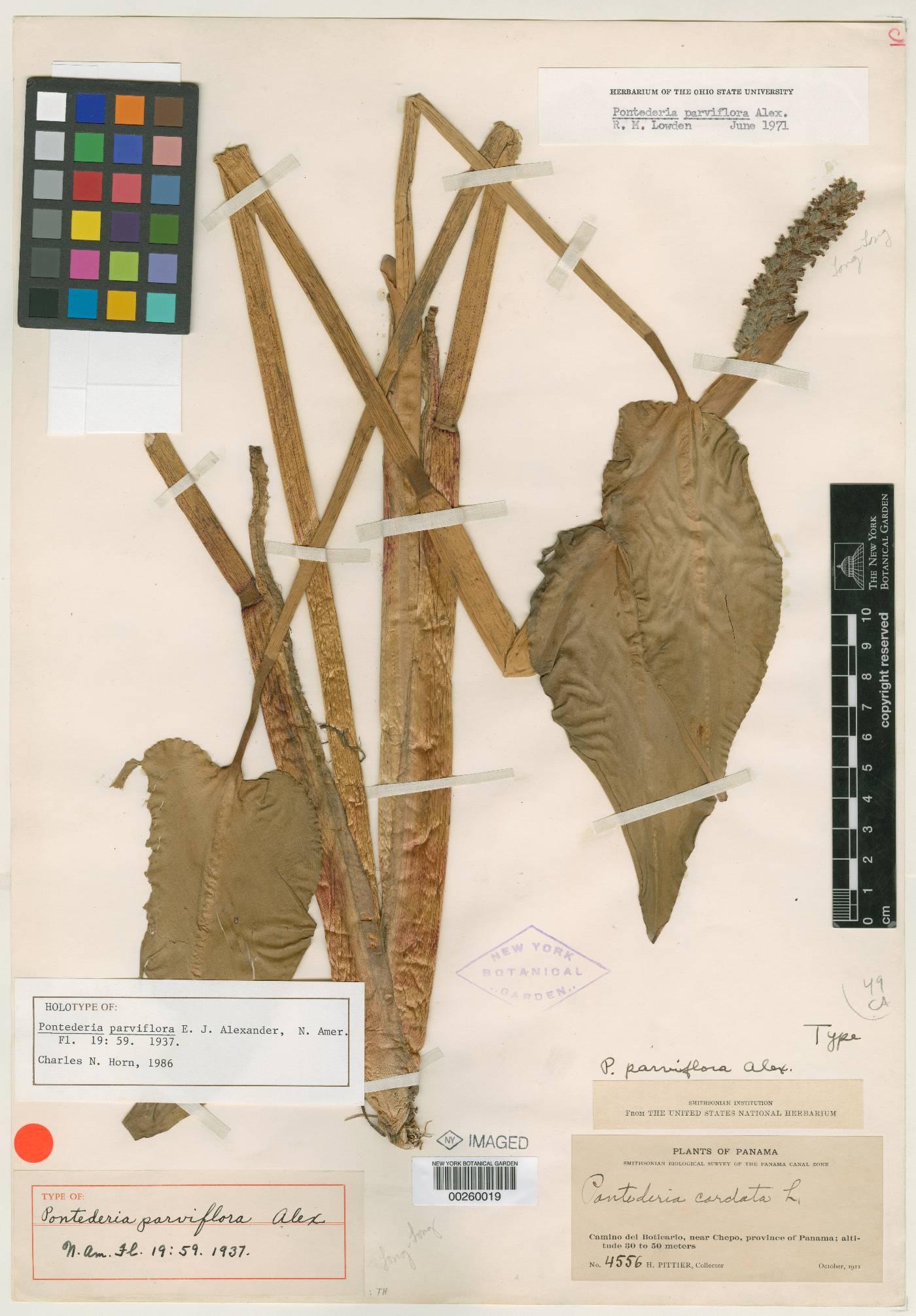 Pontederia parviflora image