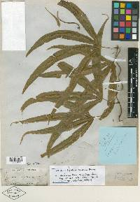 Lygodium digitatum image
