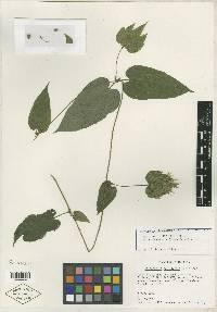 Image of Dalechampia arenalensis