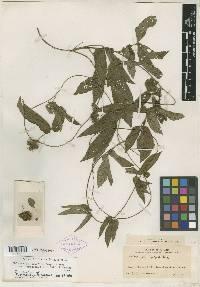 Image of Dalechampia cissifolia