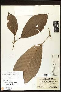 Pouteria euryphylla image