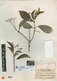 Rauvolfia purpurascens image