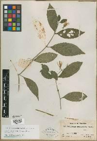 Justicia graciliflora image