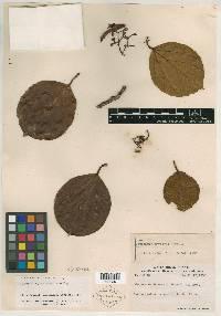 Coussapoa parviceps image