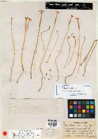 Voyria aphylla image