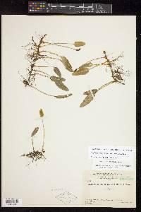 Elaphoglossum squamipes image