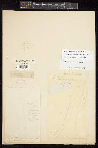 Elaphoglossum revolutum image