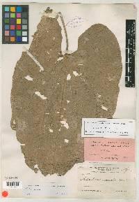 Echinodorus tunicatus image