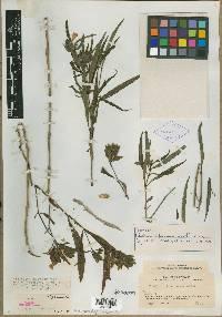 Image of Blechum panamense