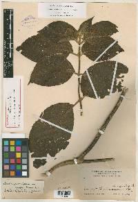 Besleria pauciflora image