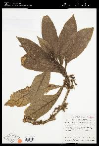 Nautilocalyx colombianus image