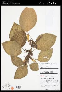 Nautilocalyx colonensis image