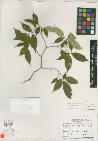 Tabernaemontana heterophylla image
