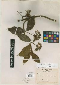 Fischeria panamensis image