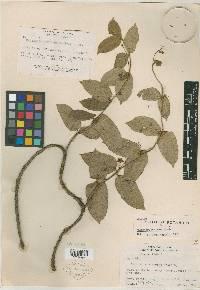 Image of Marsdenia rotheana