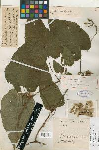 Image of Ipomoea lindenii