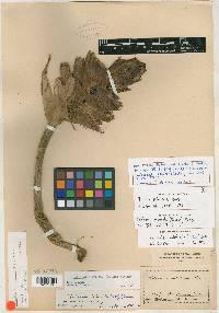 Heliconia imbricata image