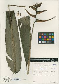 Heliconia faunorum image
