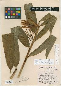 Heliconia longiflora image