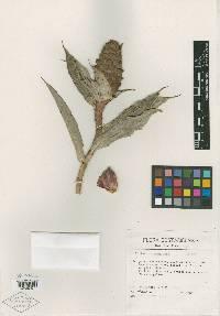 Costus wilsonii image