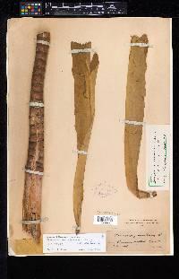 Dimerocostus strobilaceus image