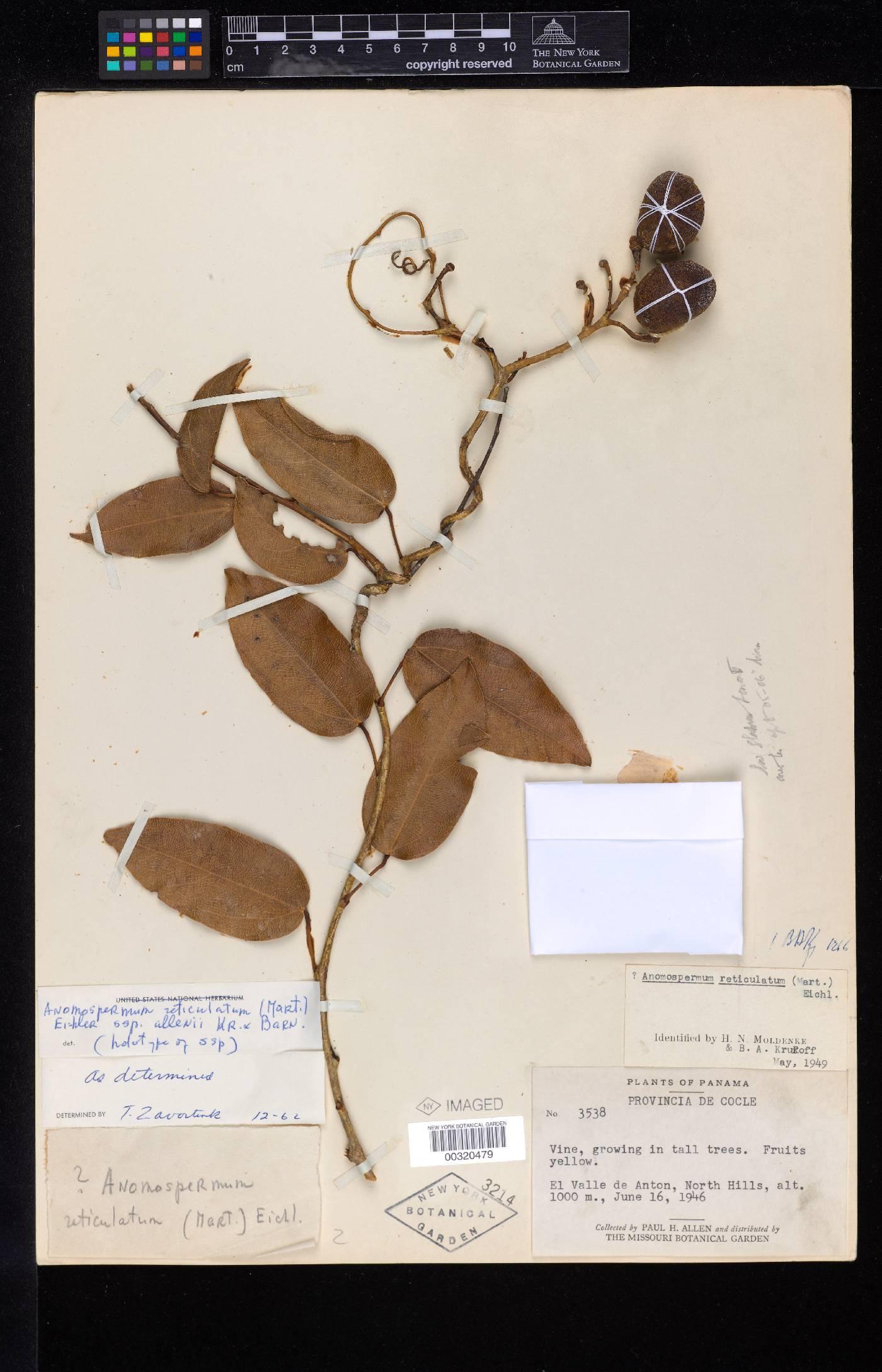 Anomospermum reticulatum image