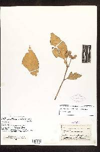 Alternanthera costaricensis image