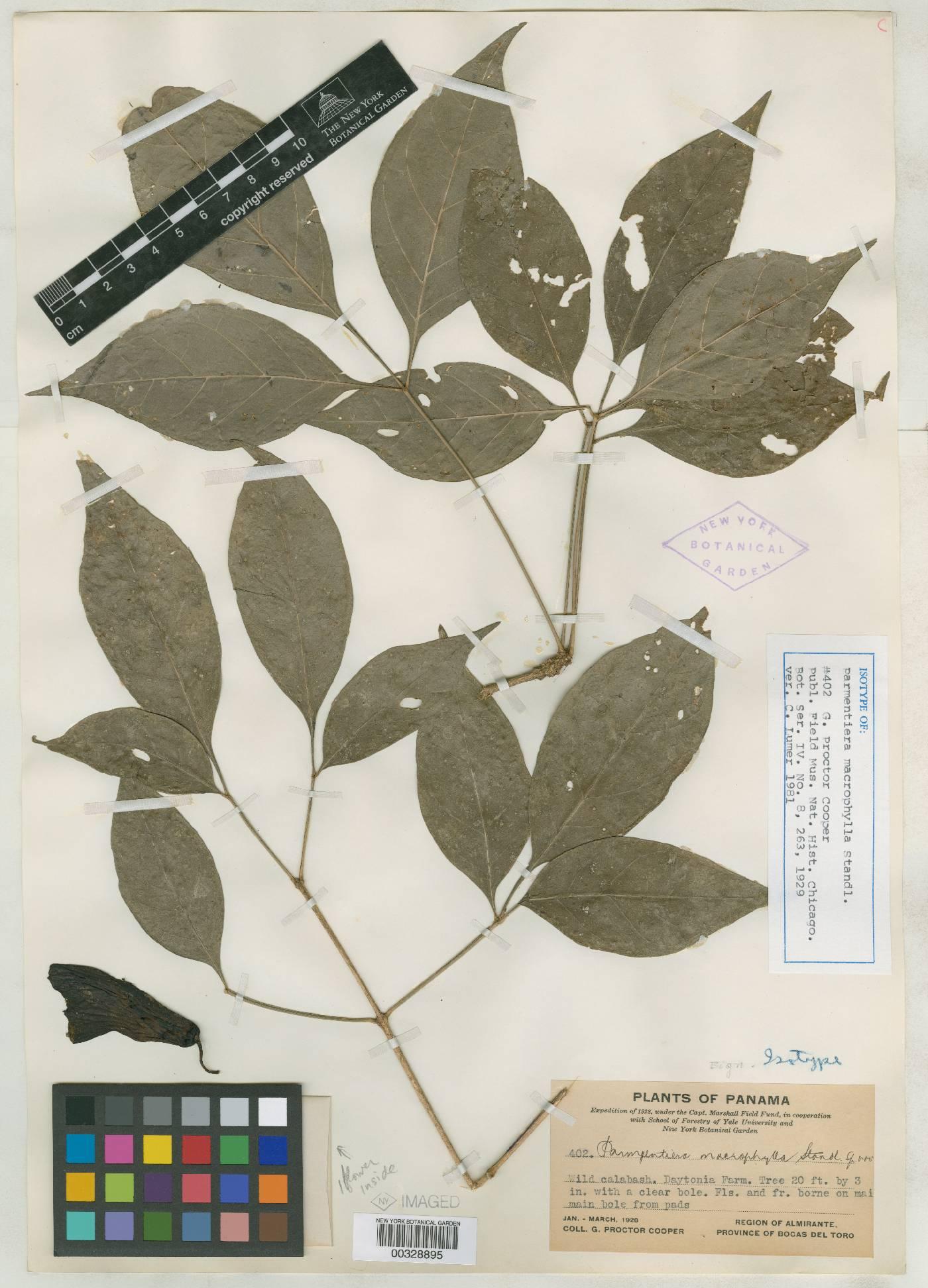 Parmentiera macrophylla image