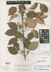 Tynanthus croatianus image