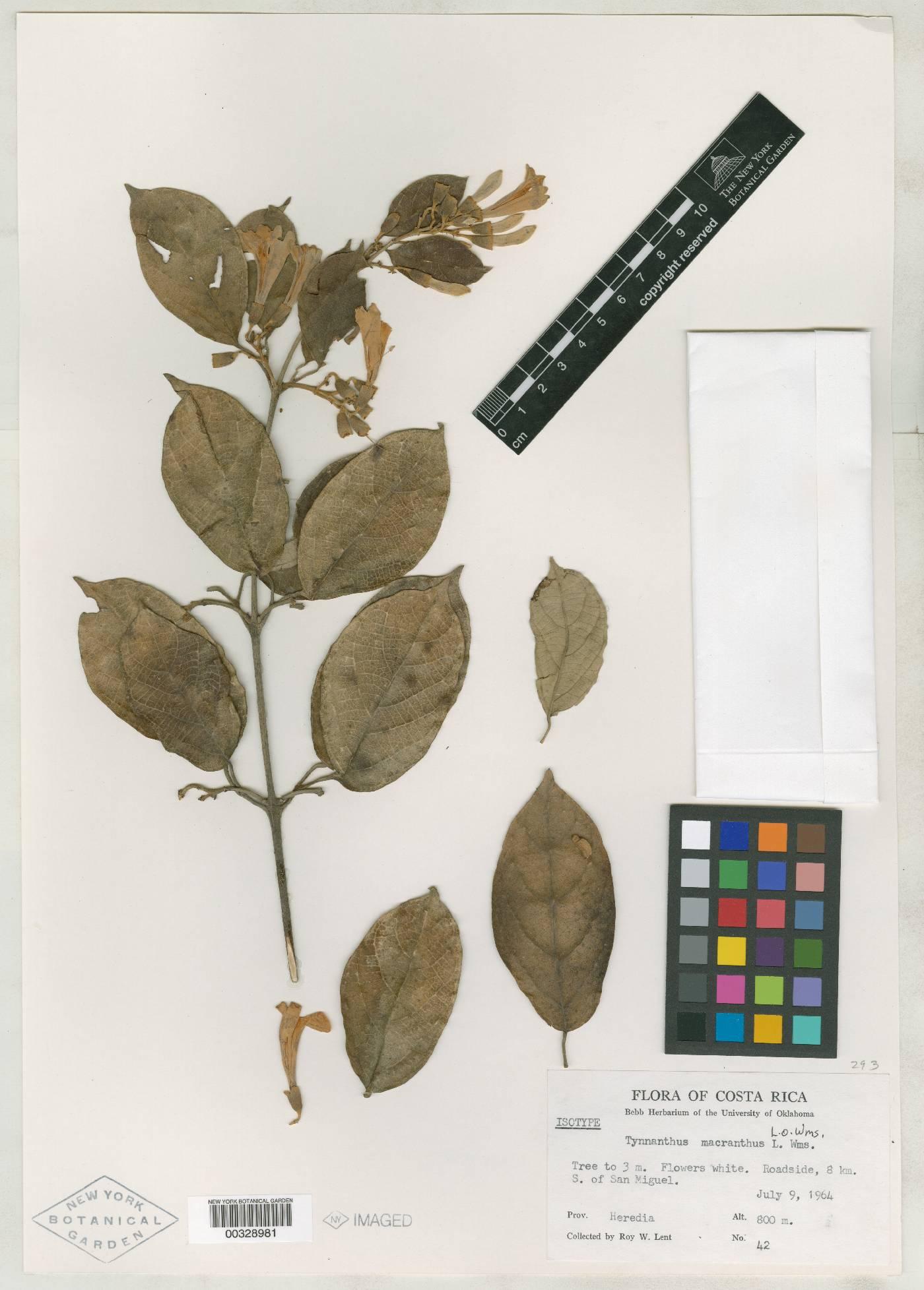 Tynanthus macranthus image