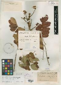 Pithecellobium macradenium image