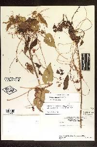 Cuscuta woodsonii image