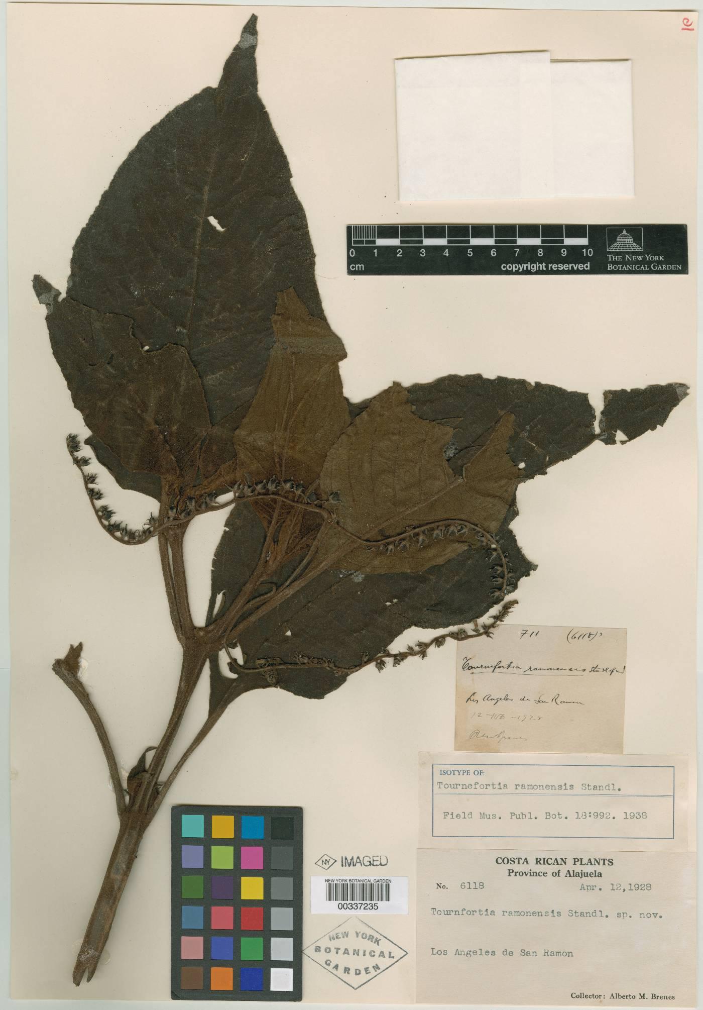 Tournefortia ramonensis image