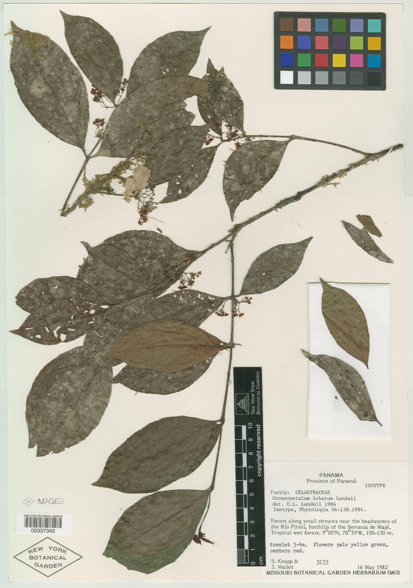 Crossopetalum lobatum image