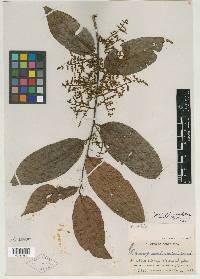 Perrottetia sessiliflora image