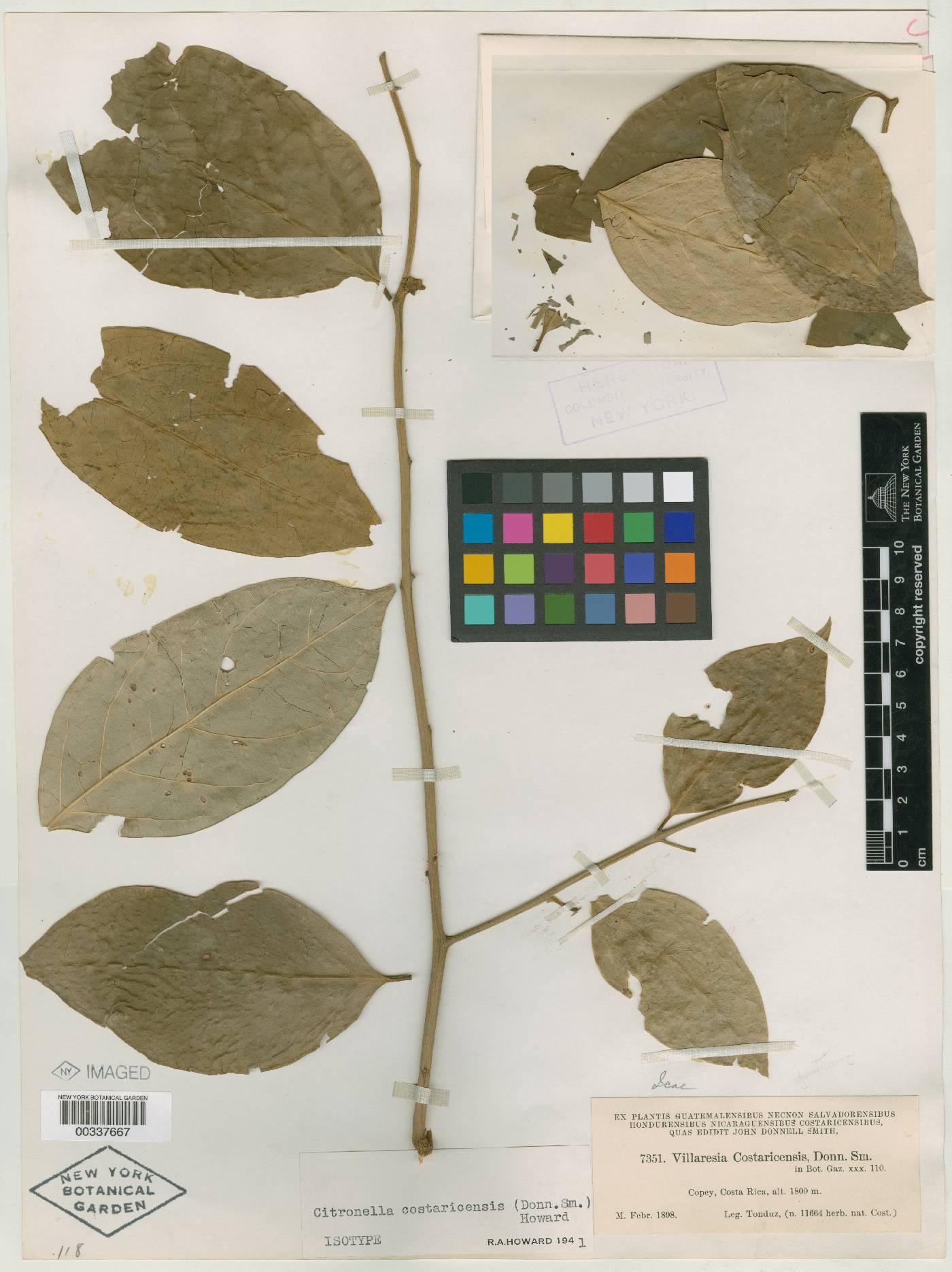 Citronella costaricensis image