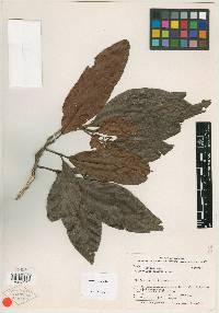 Allophylus gentryi image