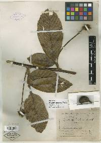 Paullinia bracteosa image