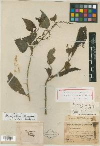 Pleuropetalum pleiogynum image
