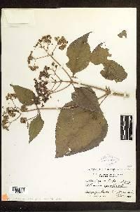 Image of Clibadium sylvestre
