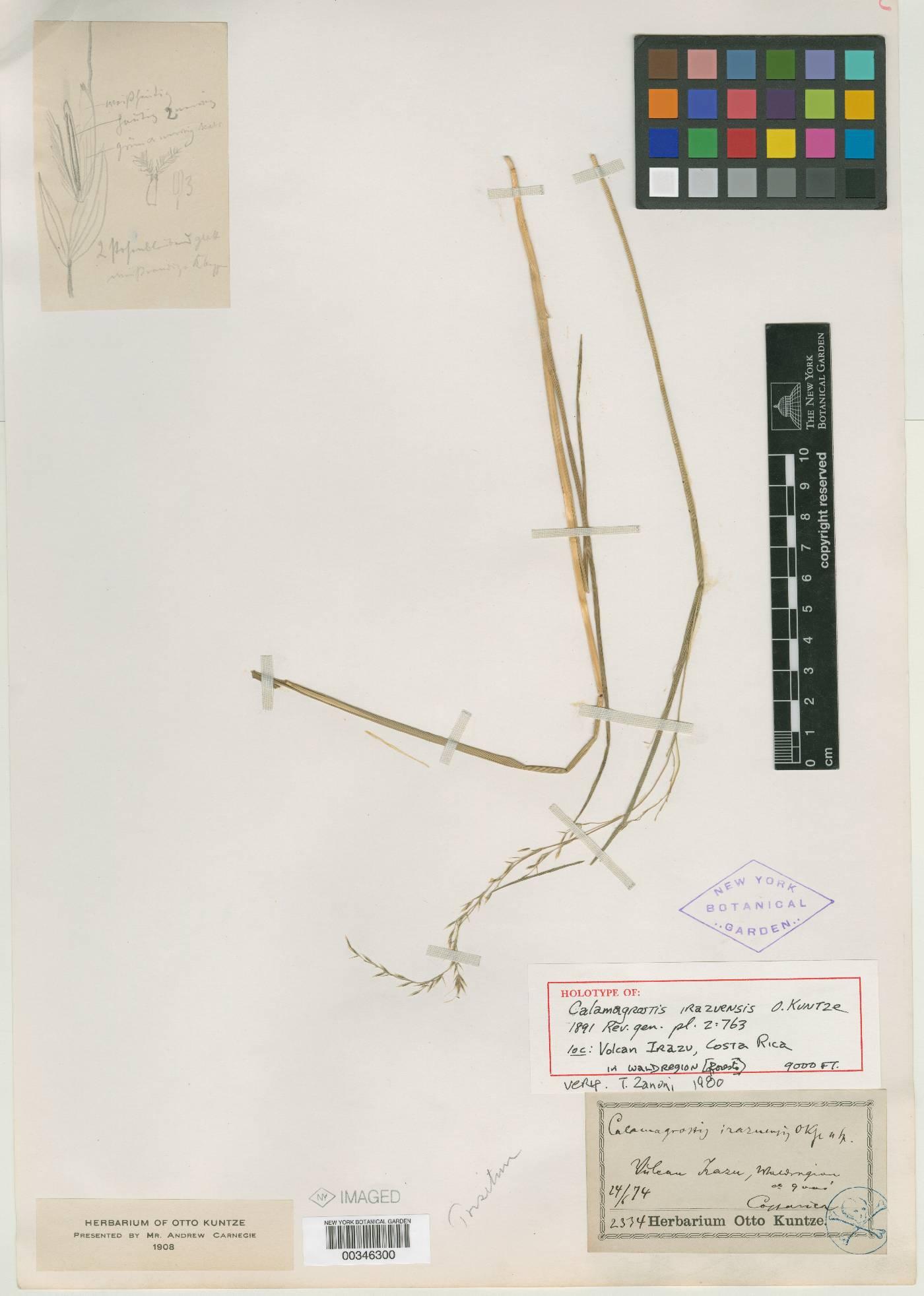 Trisetum irazuense image