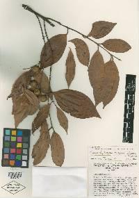 Caryodaphnopsis burgeri image
